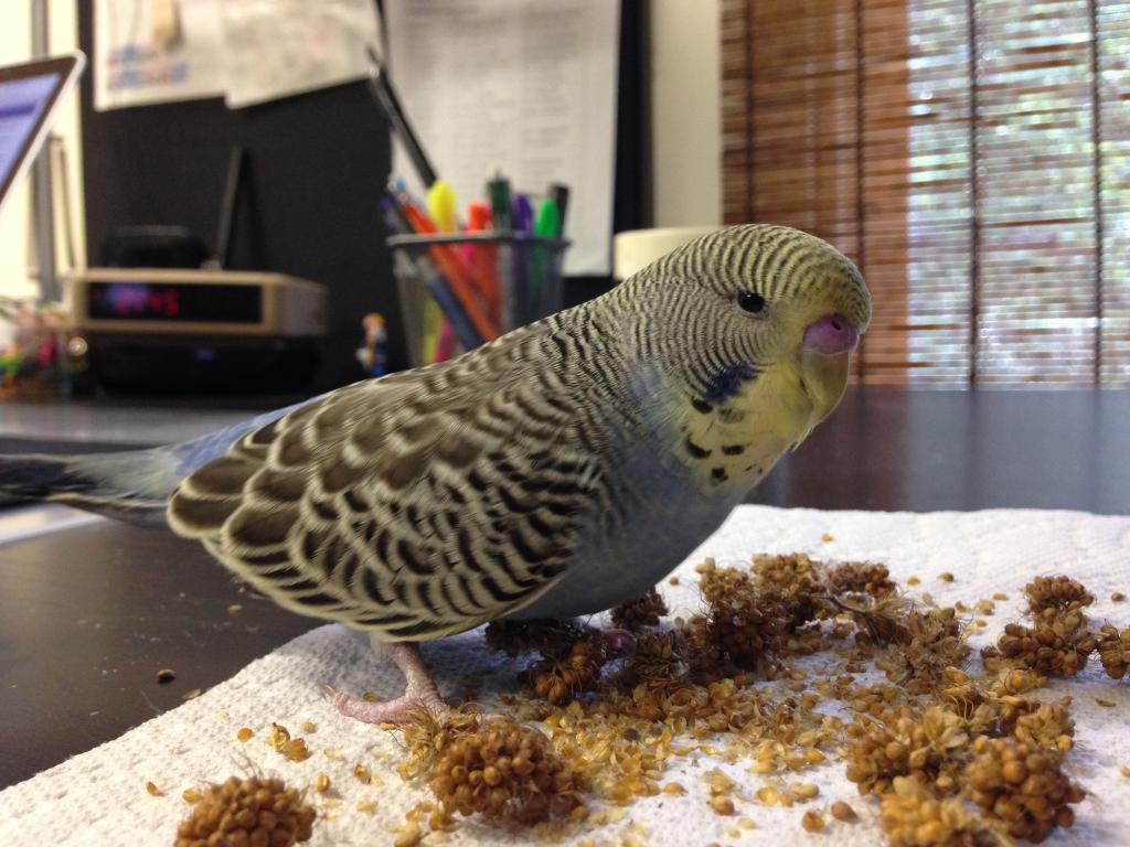 25% of my budgies, or Bucky ventures out of his quarantine cage!-img_6608.jpg