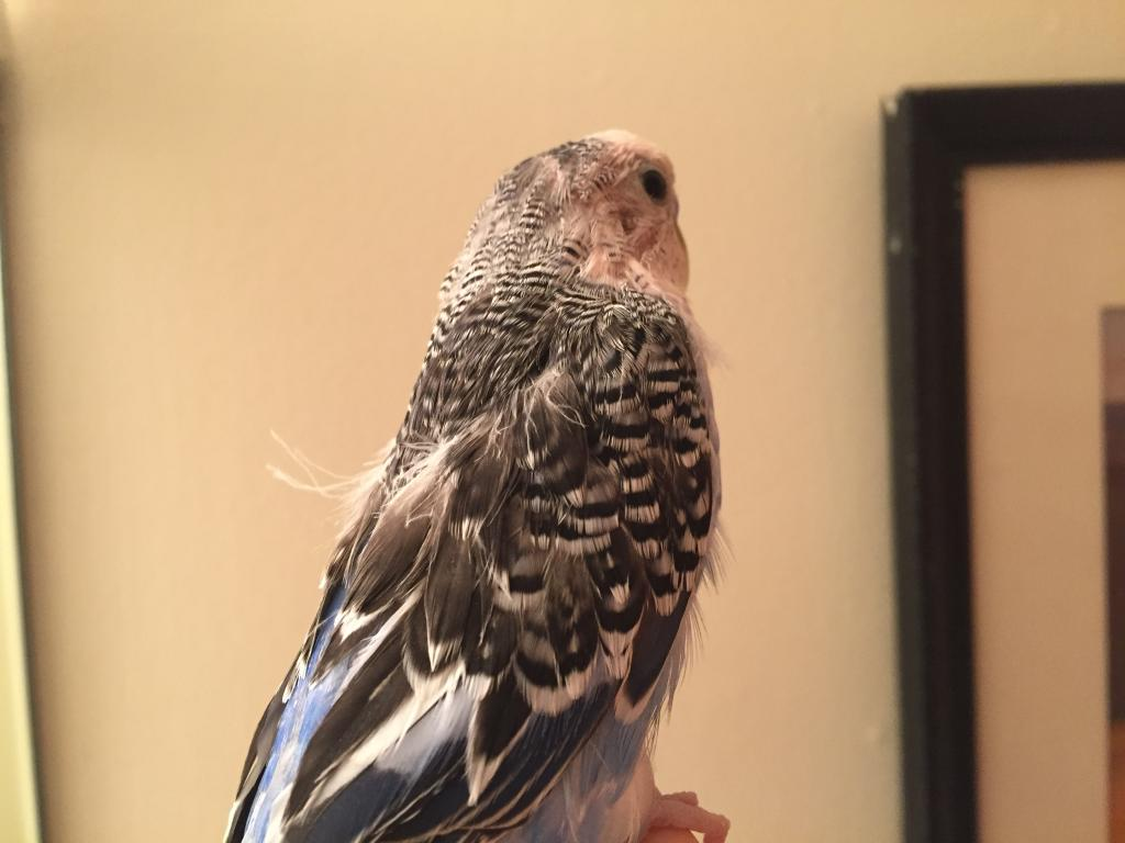 Stringy Feathers and Constant Shivering?-img_6724.jpg