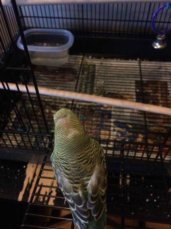 OMG is my budgie molting, or balding?-img_6799.jpg