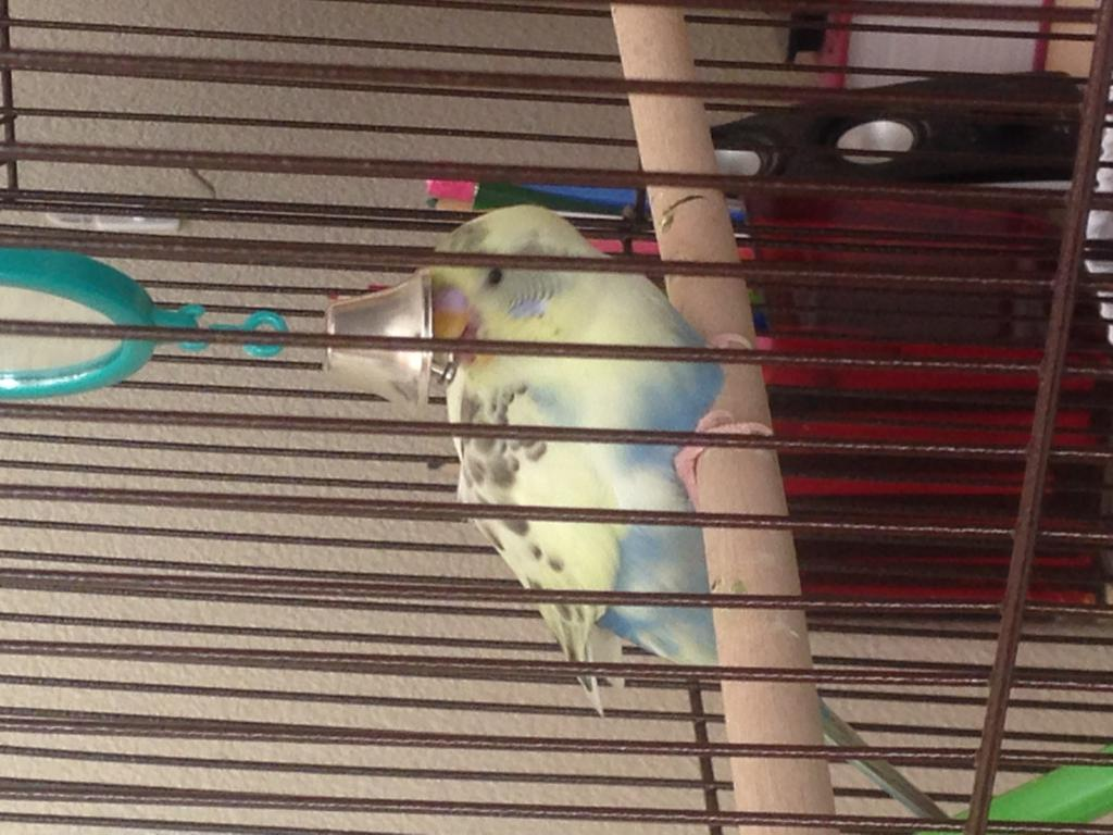My budgie is obsessed with her reflection-img_7020.jpg