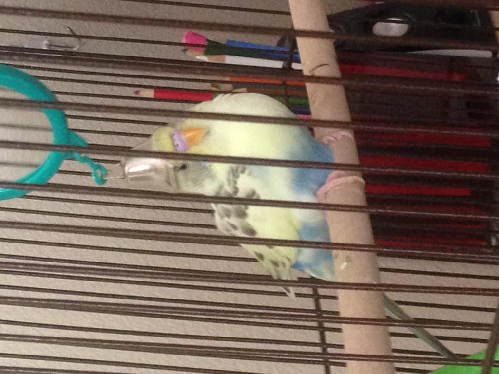 My budgie is obsessed with her reflection-img_7029.jpg