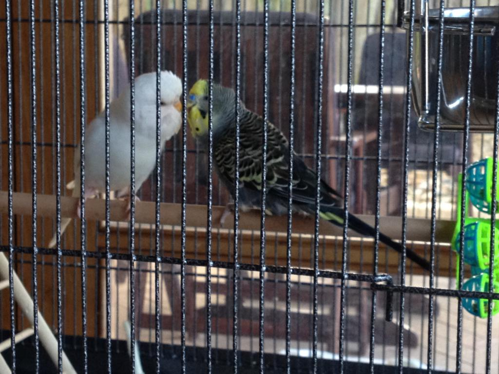 Anthracite budgie question-img_7036.jpg
