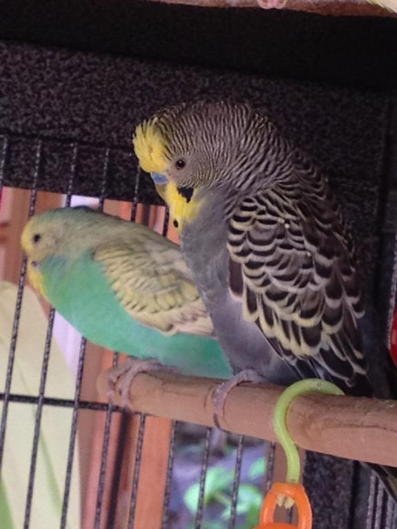 Anthracite budgie question-img_7170.jpg