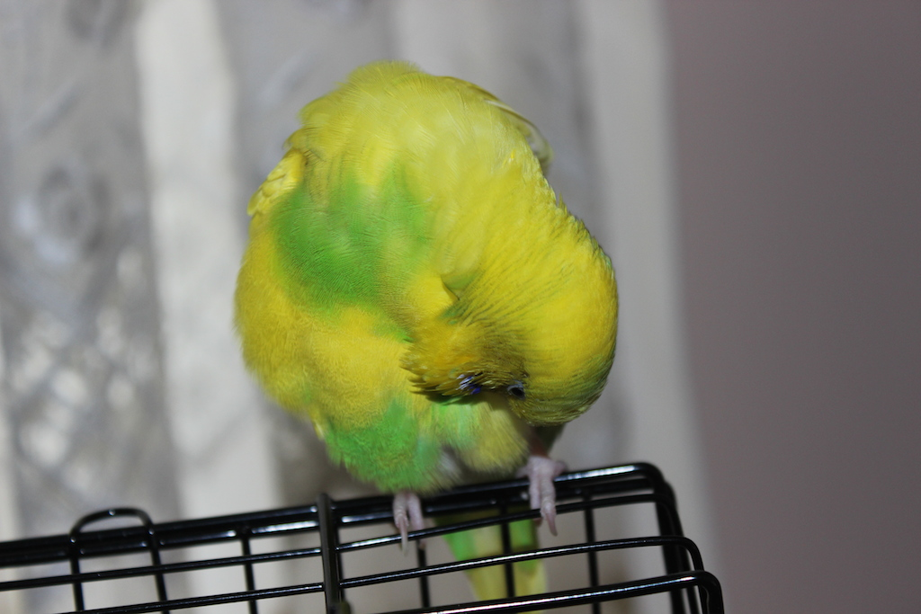 Is my budgie being bullied?-img_7713.jpg