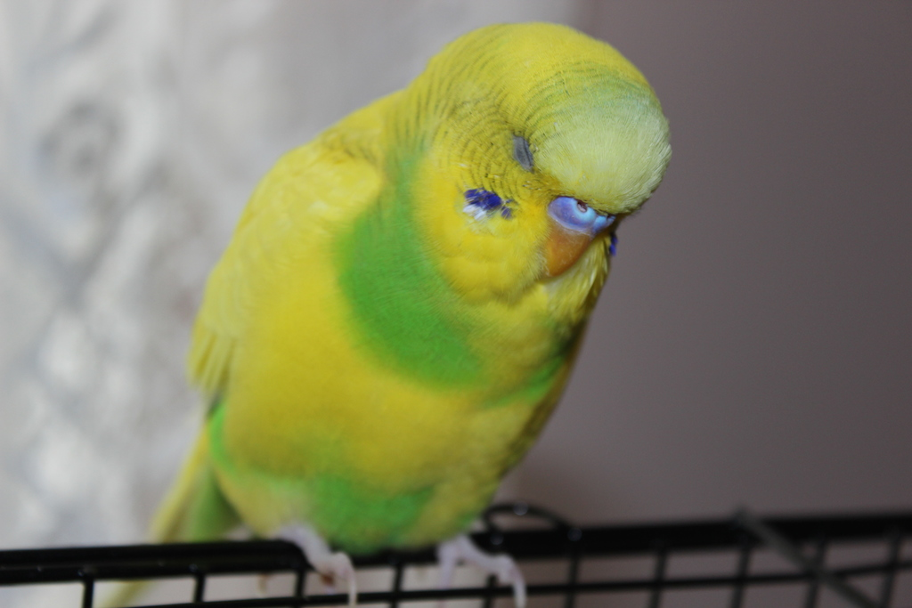 Is my budgie being bullied?-img_8023.jpg