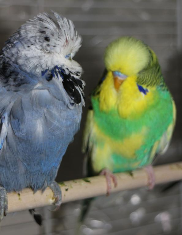 New Show Budgies-img_8226.jpg