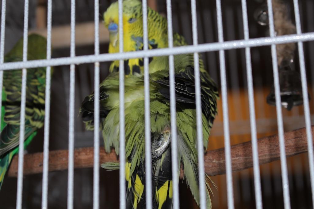 Growth or feather cyst on my boy?-img_8663-copy.jpg