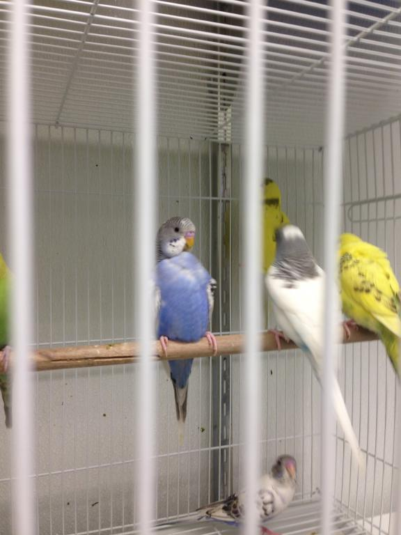 Help me sex this Budgie please!-img_8840.jpg