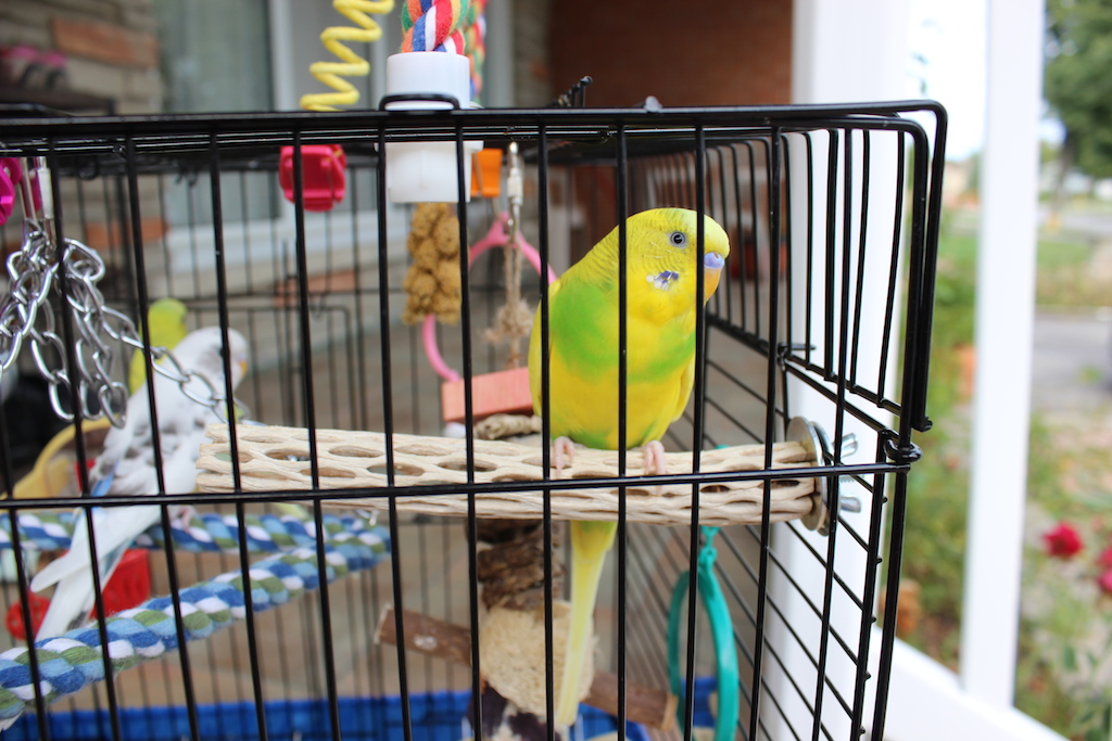 Why is my budgie not flying?-img_9325.jpg