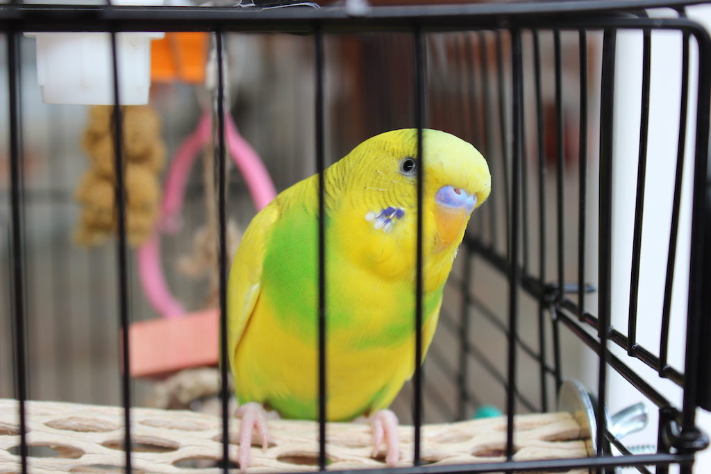 Why is my budgie not flying?-img_9326.jpg