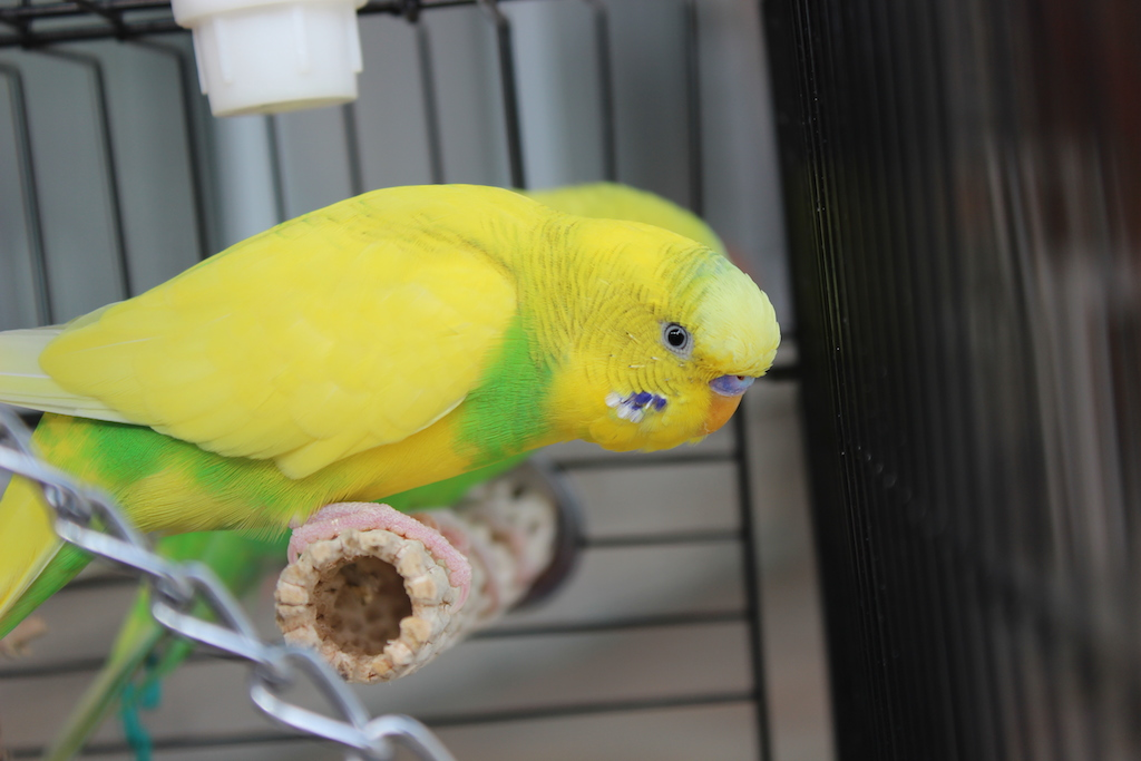 Why is my budgie not flying?-img_9344.jpg