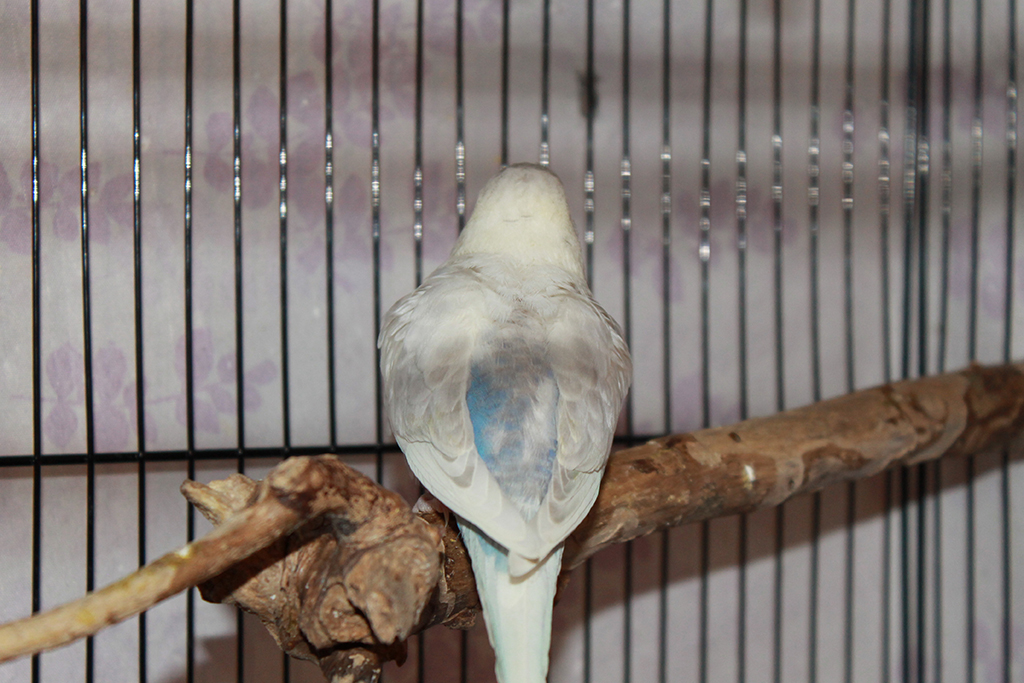Grey and Blue Budgie- confused!-img_9544.jpg