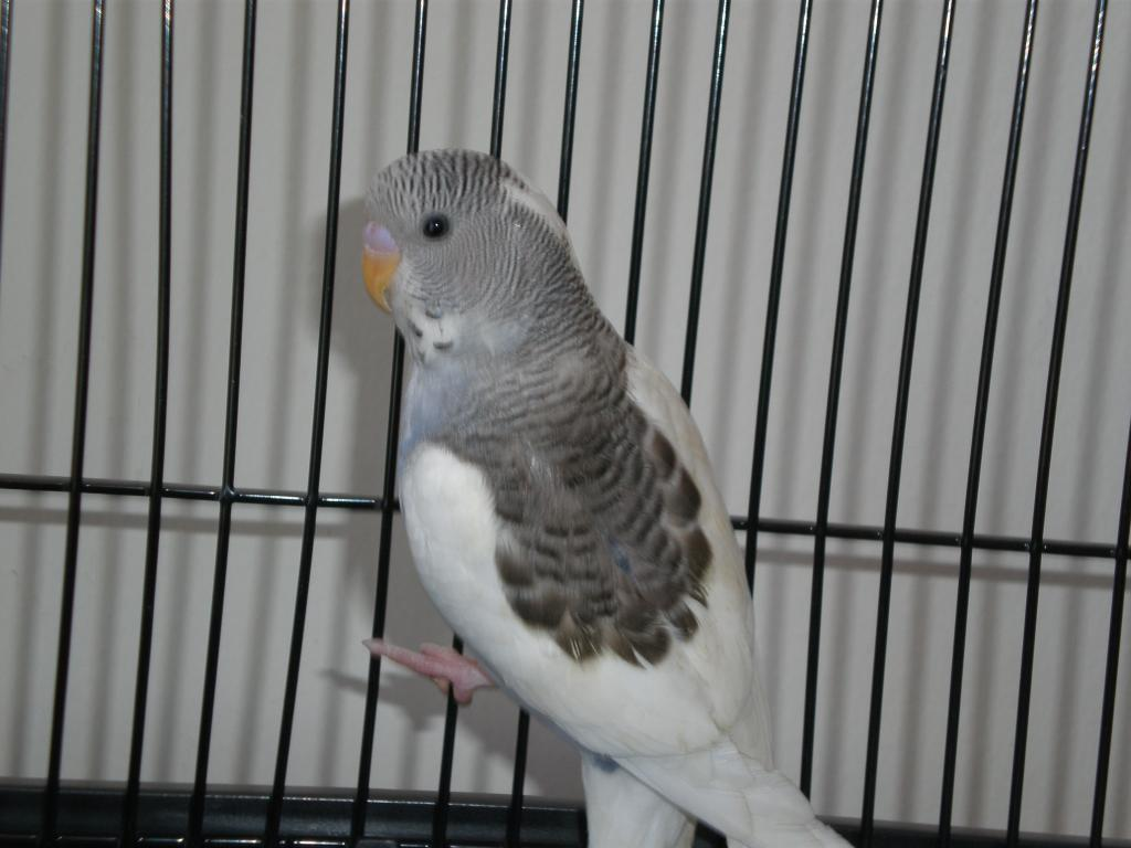 "What ""type"" of budgie do I have?-jessi-jerome-smudge-020.jpg"