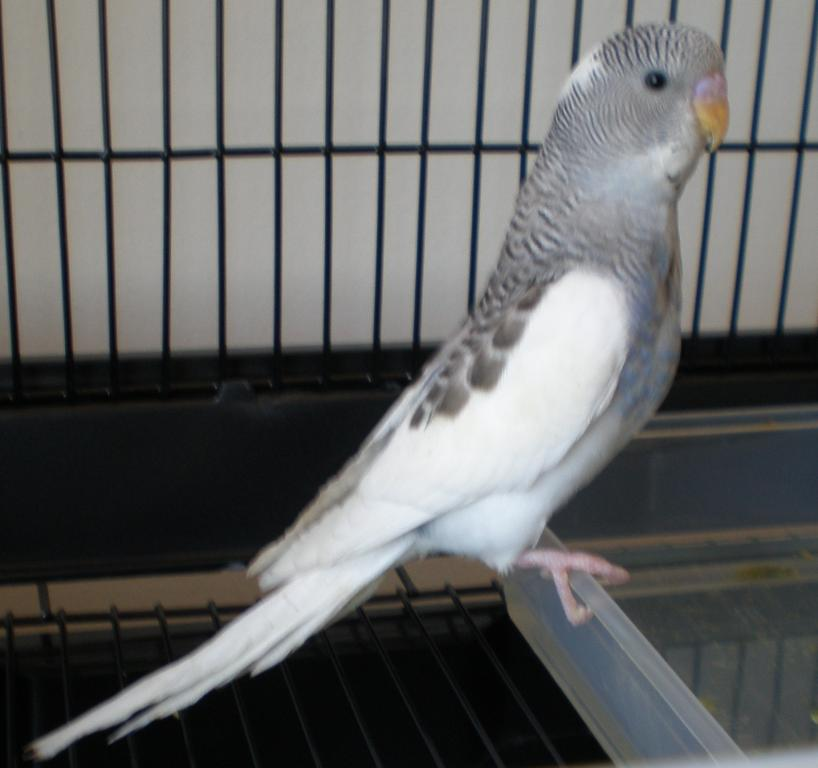 "What ""type"" of budgie do I have?-jessi-jerome-smudge-023.jpg"