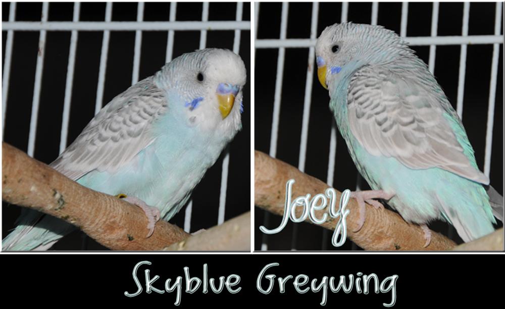 Greywing OR Dilute?-joeyskybluegreywing.jpg
