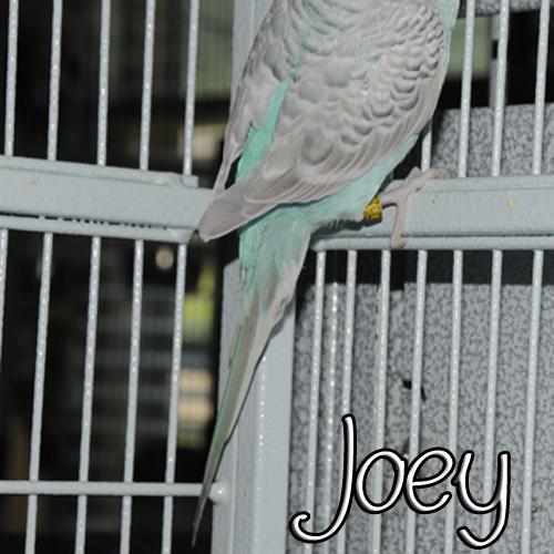 Greywing OR Dilute?-joeytail.jpg