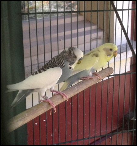 Mutations and possible baby colors-keet-3.jpg