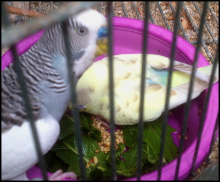 Mutations and possible baby colors-keet-pair-1.jpg
