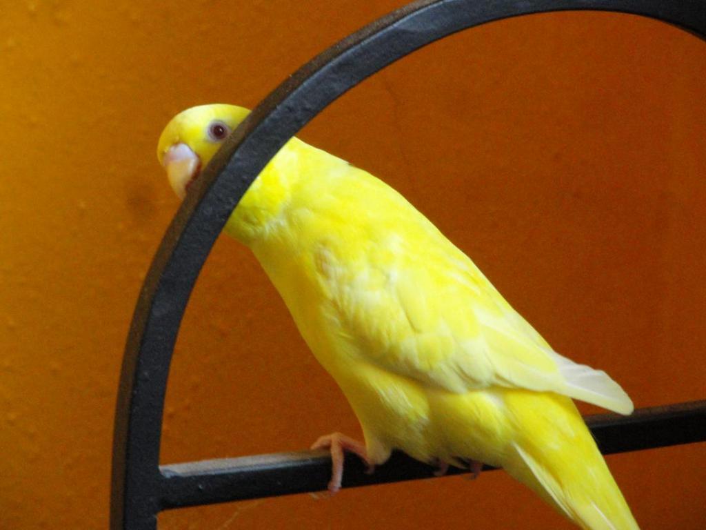 Sex of a lutino bird-kernel1.jpg