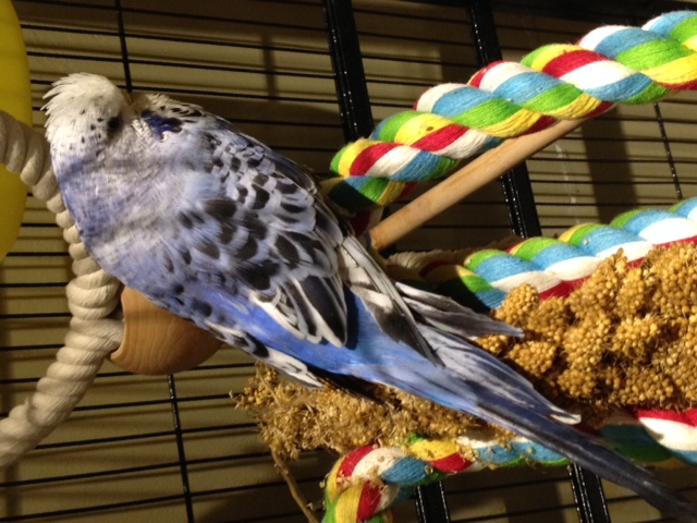 Help with my budgies mutation?-khione1.jpg