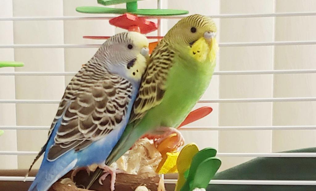 Update on Kiwi -Day 5 of Quarantine & Antibiotics-kiwi-birdie.jpg