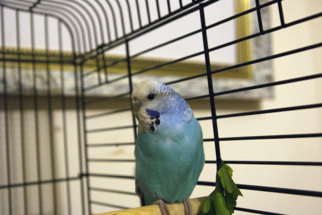 What gender is my budgie?-kiwi.jpg