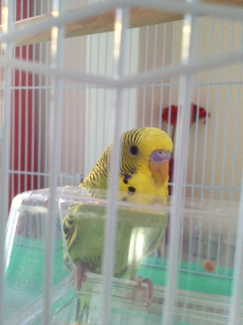 My new budgie Kiwi; Boy or girl?-kiwi.jpg