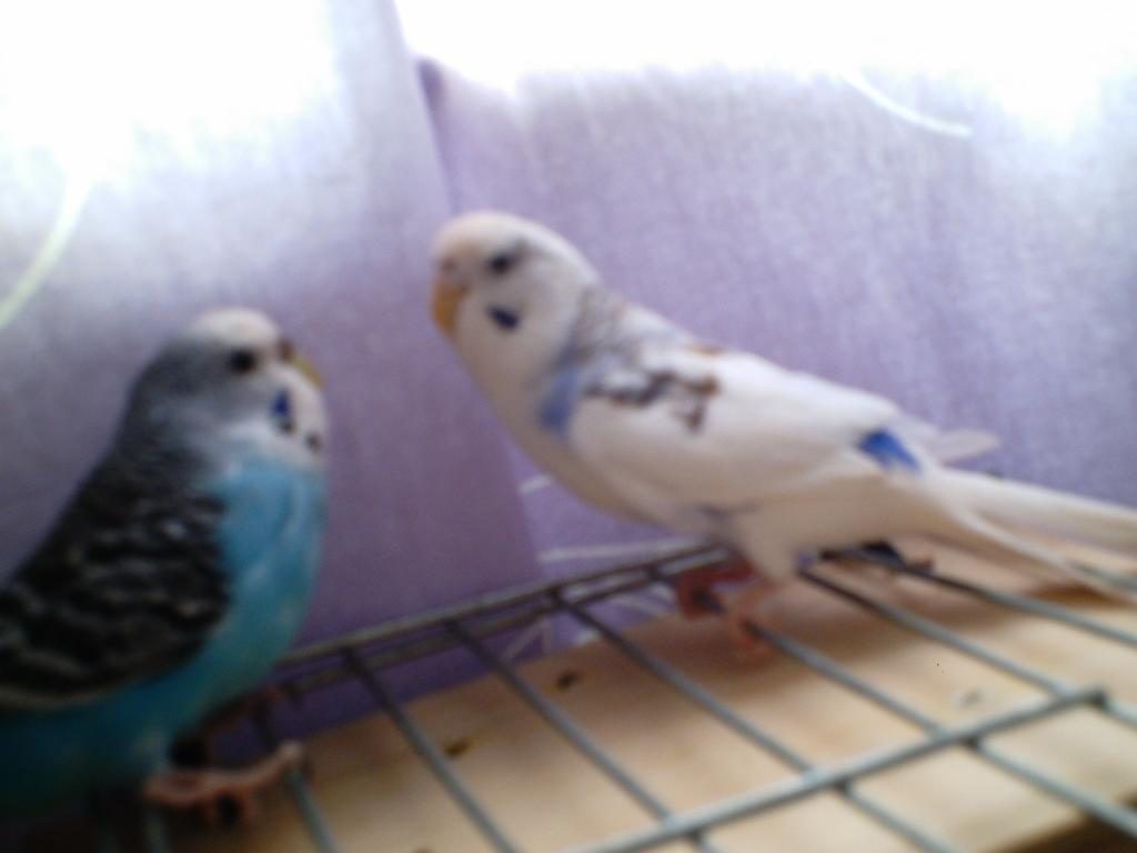 Violet and purple parakeets-lilac-n-looney.jpg