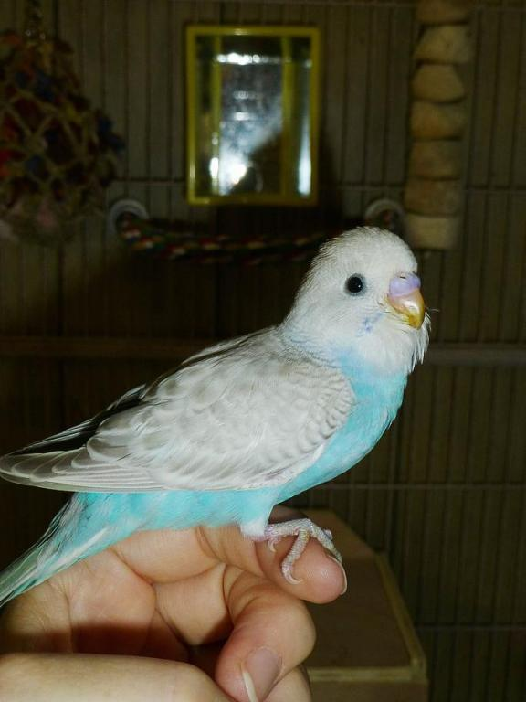 New baby is...sky blue greywing?-little-love-perch.jpg