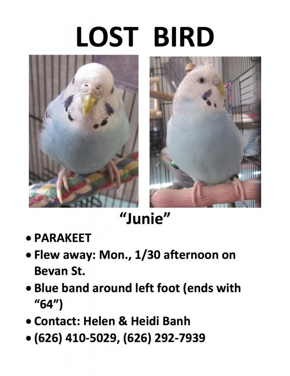 Lost Light Blue Budgie (San Gabriel, CA)-lost-parakeet-flyer.jpg