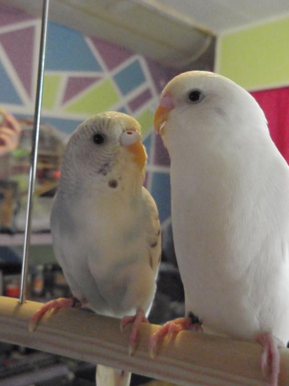 What on earth are my Budgies?!-louis-ivory.jpg