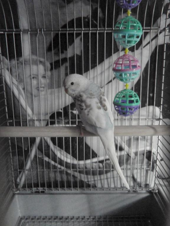 What on earth are my Budgies?!-louiss-first-day-home-young-.jpg