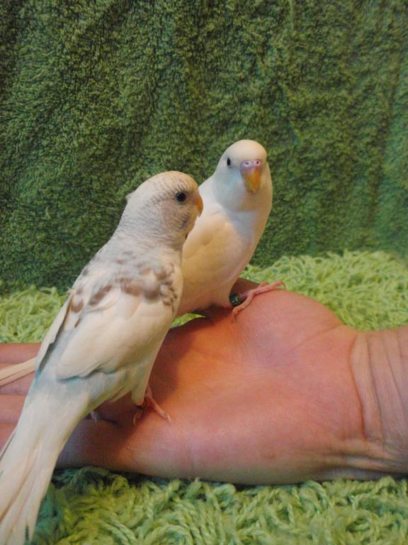 What on earth are my Budgies?!-louiss-patterns.jpg
