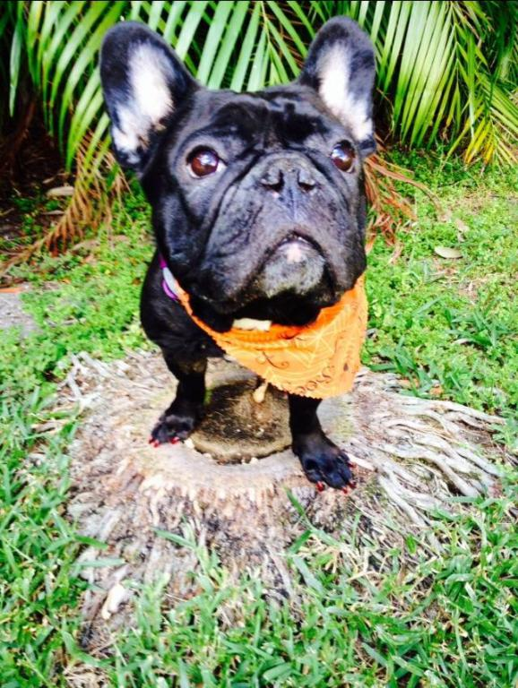My beautiful frenchie-loulou.jpg
