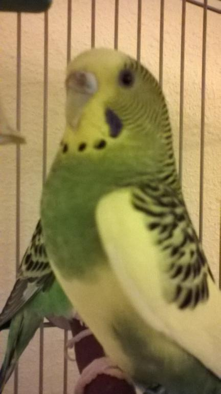 Is there mold on my budgie?-lulucere.jpg