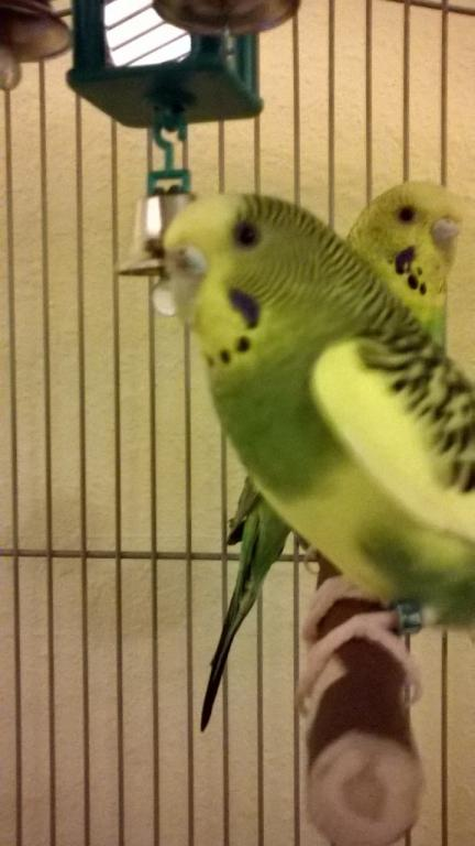 Is there mold on my budgie?-lulucere2.jpg