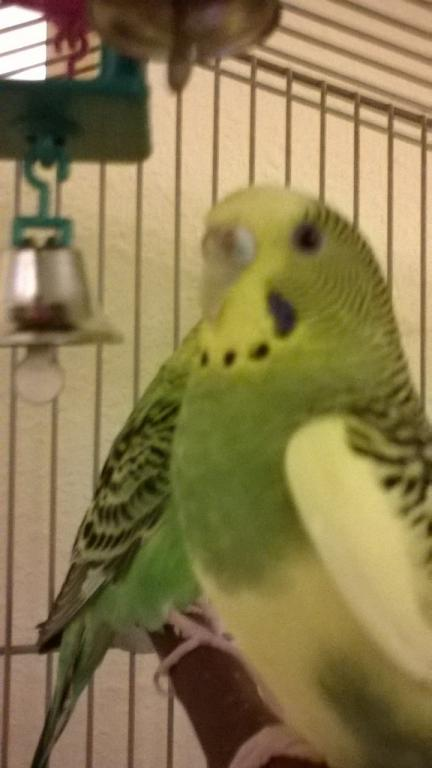 Is there mold on my budgie?-lulucere3.jpg