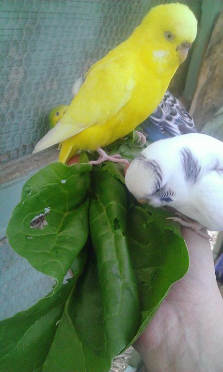 Newest Hatchlings-lutino.jpg