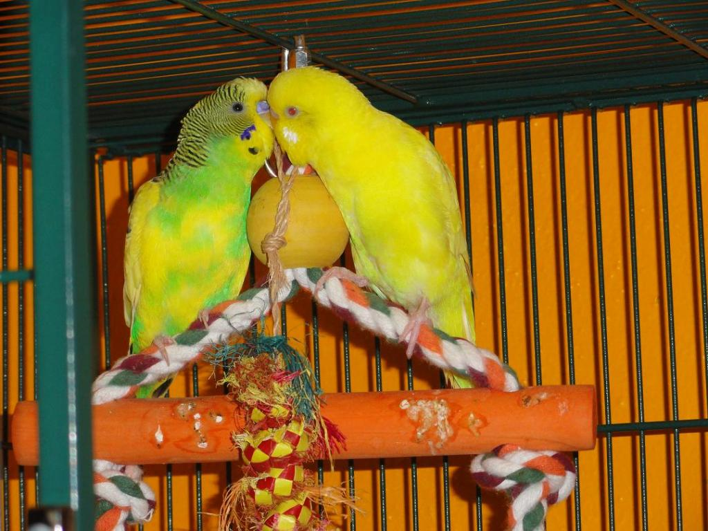 Sex of a lutino bird-malkernel.jpg