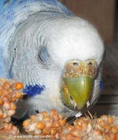 My parakeet a girl or a boy?-mature-female.jpg