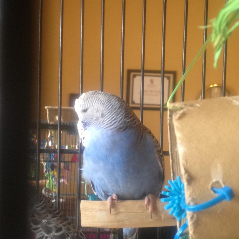 Meet Pippin and Maui-maui-cobalt-blue.jpg