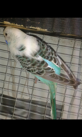 Frosted pied? Or not?-mms_20150527_104530.png