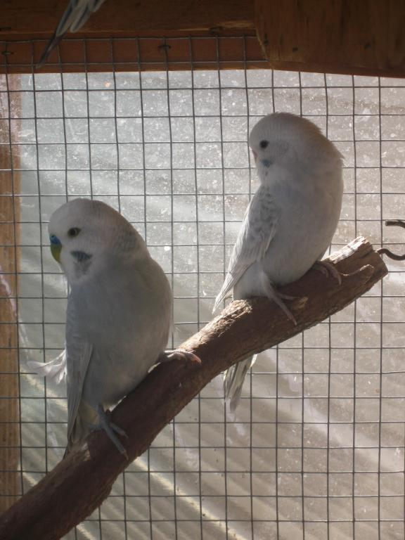 Parents and sibling of the previous chicks-more-baby-budgie-pics-016.jpg