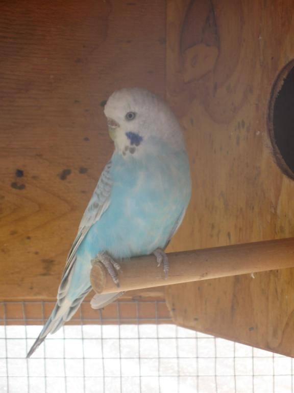 Parents and sibling of the previous chicks-more-baby-budgie-pics-017.jpg