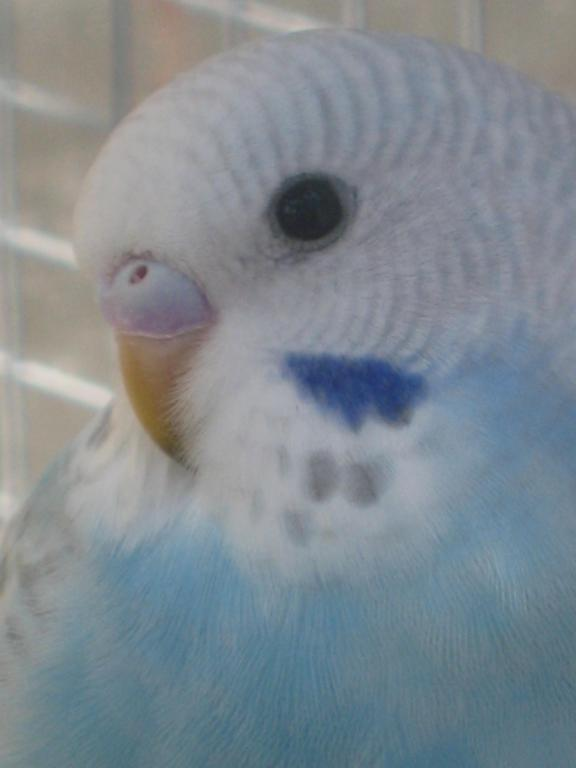 Help with colour mutation and sex please...-more-baby-budgie-pics-031.jpg