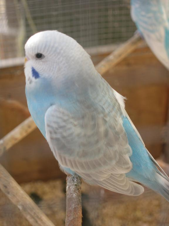 Help with colour mutation and sex please...-more-baby-budgie-pics-034.jpg