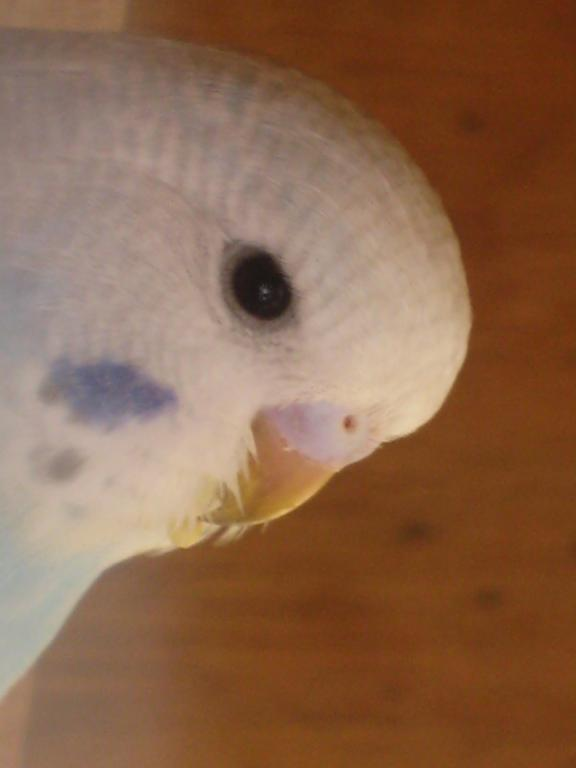 Help with colour mutation and sex please...-more-baby-budgie-pics-038.jpg