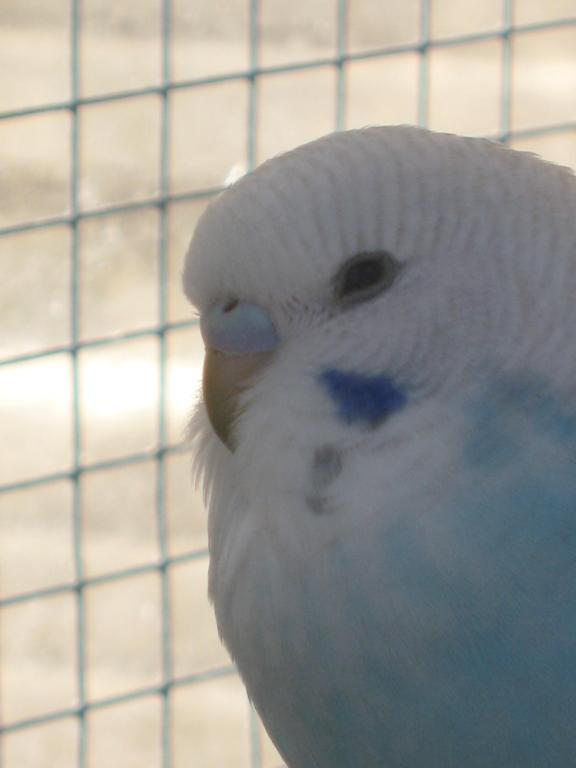 Help with colour mutation and sex please...-more-baby-budgie-pics-040.jpg