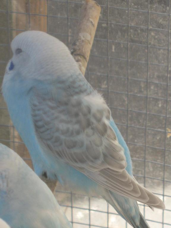 Help with colour mutation and sex please...-more-baby-budgie-pics-041.jpg