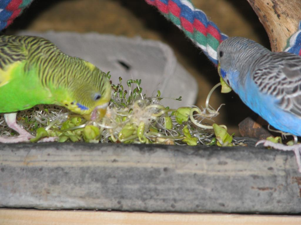 Pics of my flock being cute and eating healthy-more-sprouts.jpg